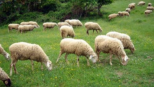 pecore-pascolo