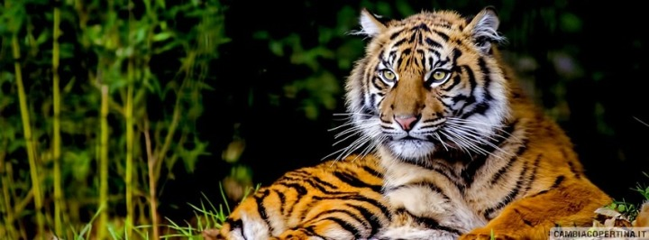 2659-tigre-bellissima
